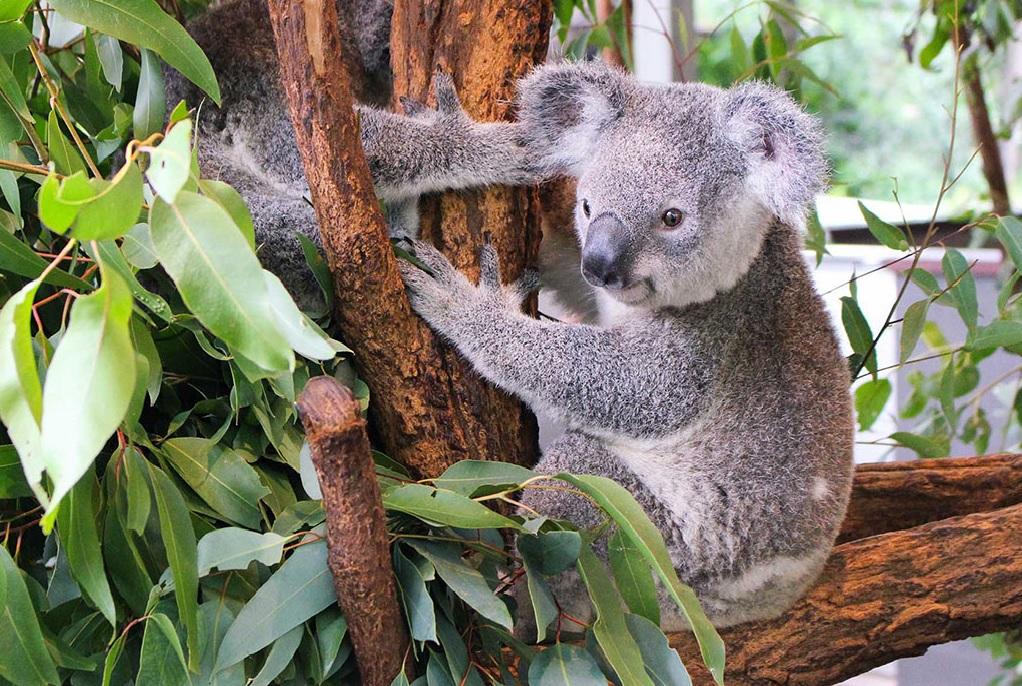 Lone Pine Koala Sanctuary Admission