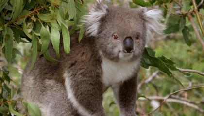 7D6N December Series-koala reserve