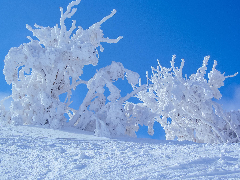 Mt Buller Snow Tree