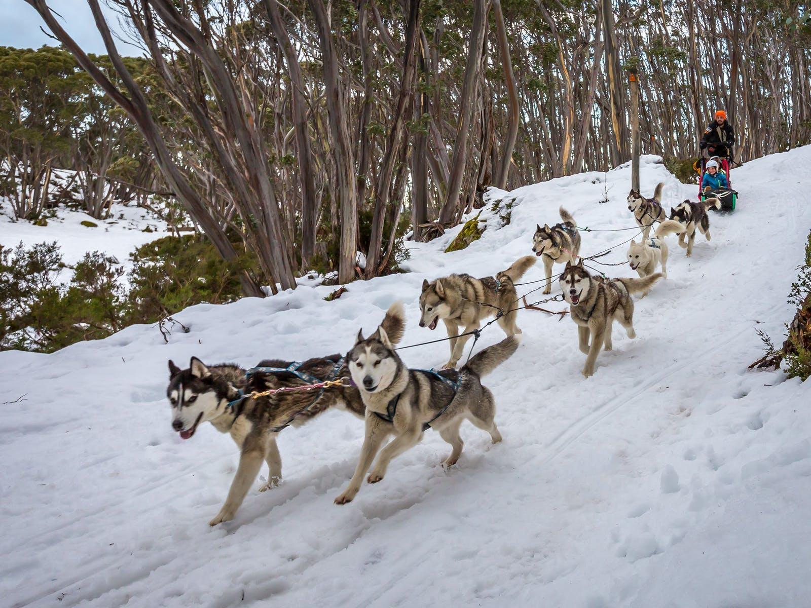 Mt Baw Baw Dog Sled